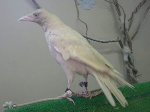 640px-Carrion_crow_Albino_20091101